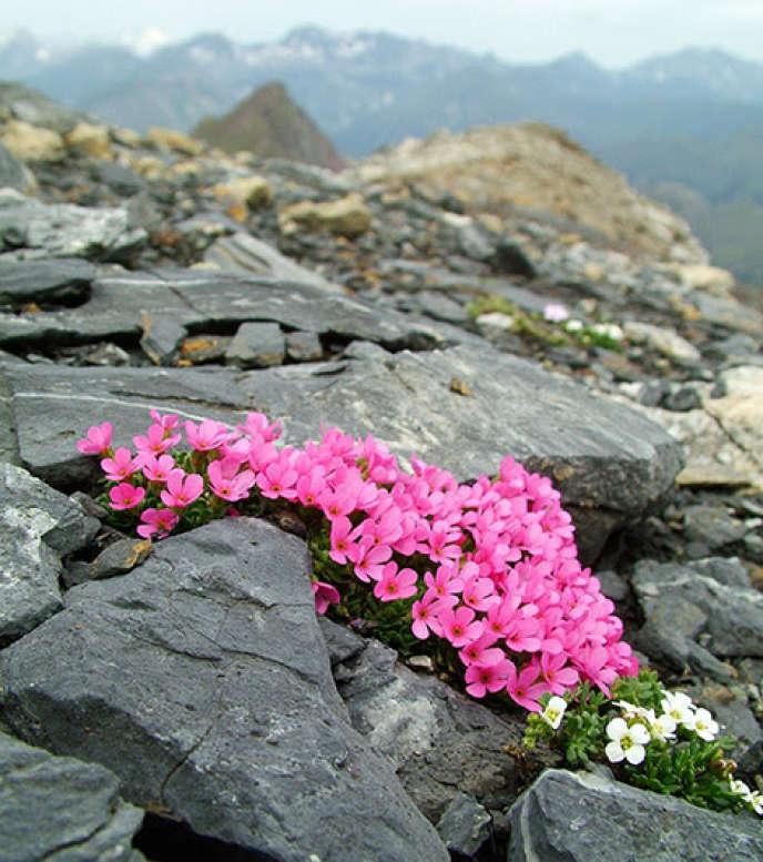 L'androsace ciliée (Androsace ciliata, en rose) et le cresson des chamois (Hutchinsia alpina, en blanc), deux plantes typiques des parois rocheuses, au sommet de la Punta Suelza (2 972 mètres), dans les Pyrénées.