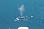 Une baleine boréale, au nord-ouest de la Norvège.
