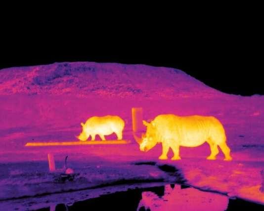 Image thermique infrarouge de rhinocéros en Afrique du Sud.
