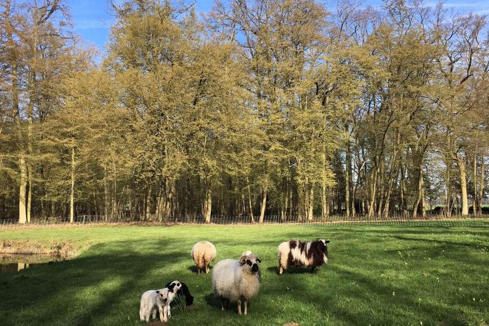 Les moutons participent à l'entretien en tondant... bénévolement la pelouse.