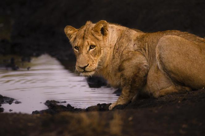 Un lion dans le parc Kruger, en Afrique du Sud.