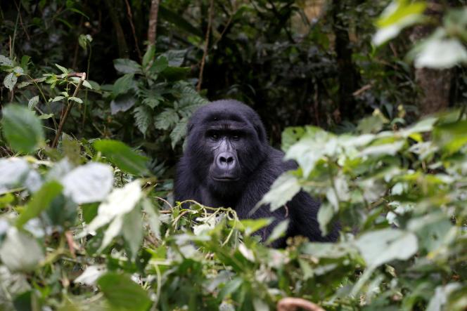 Un gorille des montagnes, espèce engrand danger d'extinction, dans le Bwindi National Park près de Kisoro (Ouganda), le 31 mars.