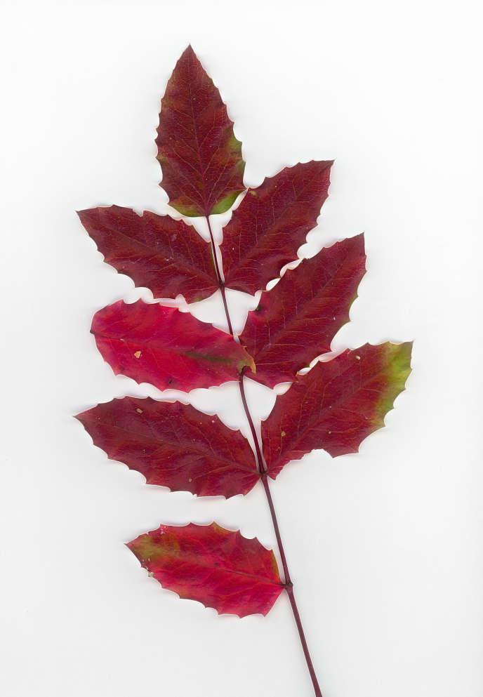 Feuilles de mahonia faux houx, arbuste d'Amérique du Nord, aux propriétés anti-inflammatoires.