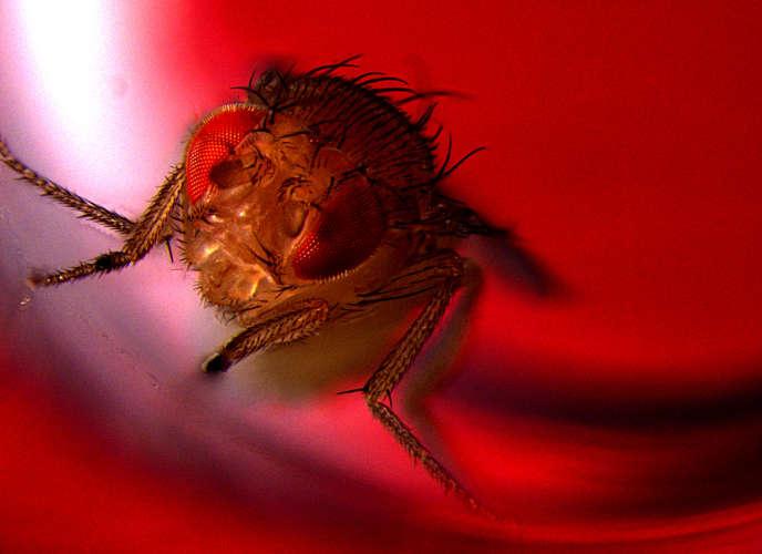 Cette image montre une mouche mâle exposée à la lumière rouge pour déclencher l'activation optogénétique des neurones CRZ, ce qui provoque l'éjaculation.neurones à corazonine