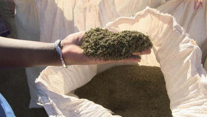 «Artemisia annua» séchée, à Madagascar.