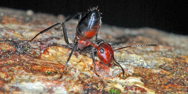 Faire Fuir Les Fourmis le sacrifice suprême de la fourmi explosive