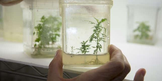 Culture d'« Artemisia annua ».