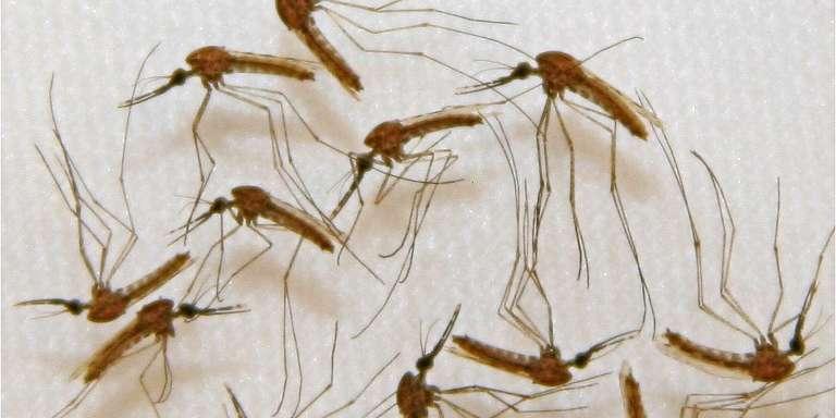 Des moustiques porteurs du paludisme dans un laboratoire de la société Sanaria à Rockville, aux Etats-Unis, en 2013.