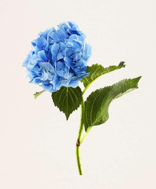 « Hydrangea Nikko Blue », photographie extraite de la série « The Most Beautiful Flowers », du Japonais Kenji Toma (Kehrer Verlag, 2017).