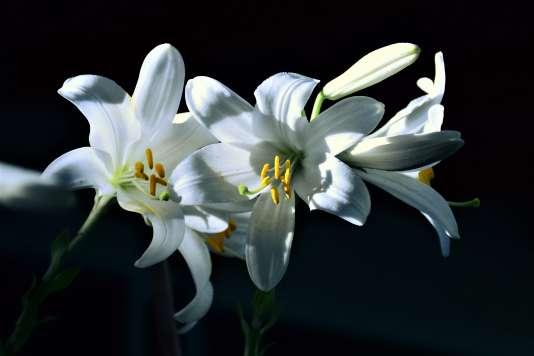 Lily, par Eyal Sabatani.