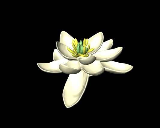 Modèle de la fleur ancestrale.L'ancêtre de toutes les fleurs vient d'être identifié par une équipe de 36 chercheurs, issus de 13 pays.