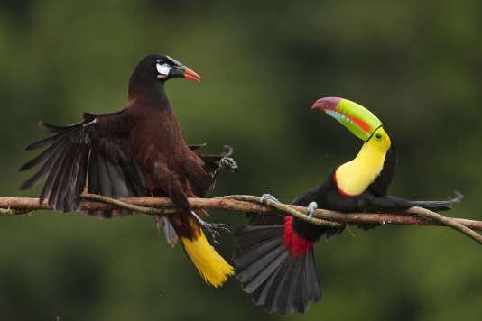 Croiser des cassiques de Montezuma (Psarocolius montezuma) ou des toucans n'est pas rare...