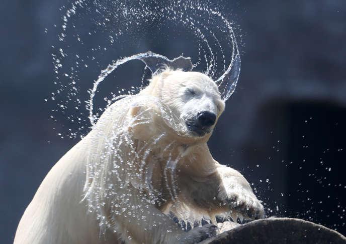 Un ours polaire, au zoo de Gelsenkirchen (Allemagne), le 2 mai.
