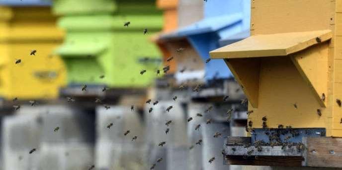Abeilles en vol à l'entrée d'une ruche, dans le Doubs.
