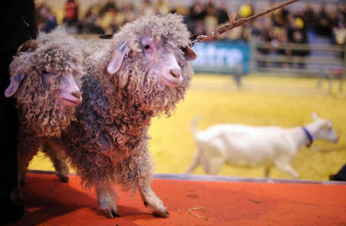 Des chèvres mohair, au Salon de l'agriculture, à Paris, en mars 2010.