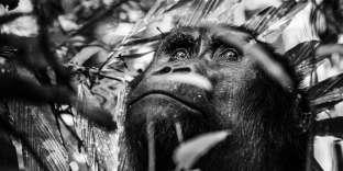 Femelle gorille dans le parc des Virunga (République Démocratique du Congo), en février.