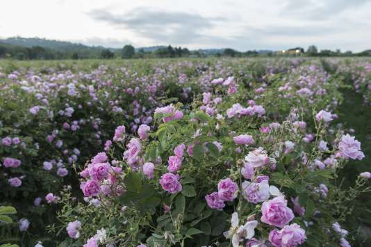 Les champs de rosiers cent-feuilles, juste avant la récolte, à Grasse.