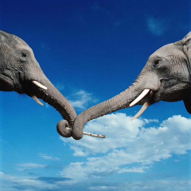 Deux éléphants africains en train de jouer.