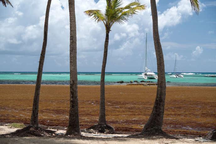 Algues brunes toxiques sur la plage de Saint-François (Guadeloupe), le 27 mars.