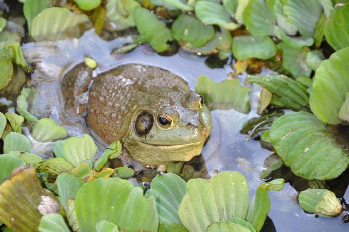 Une grenouille taureau, l'une des espèces envahissantes qui ont transporté le champignon Bd à travers les continents.
