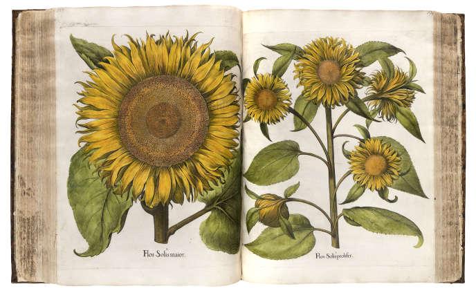 « Hortus Eystettensis» (« Le Jardin d'Eichstätt»), de Basil Besler (1561-1629), édition de 1613.