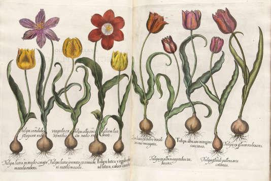« Hortus Eystettensis» (« Le Jardin d'Eichstätt»), Basil Besler (1561-1629). Cet exemplaire a été spécialement colorié à destination d'un personnage illustre... et fortuné.