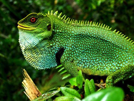 Un iguane dans le parc national Yasuni (Equateur).