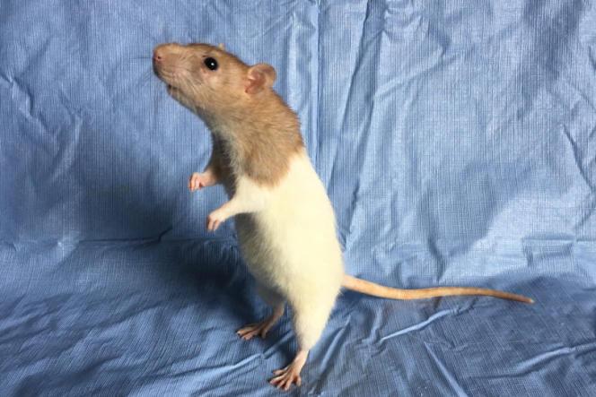 Aries, une rate saisie par la fourrière et recueillie par l'association Larkencielle, le 4mai 2018.