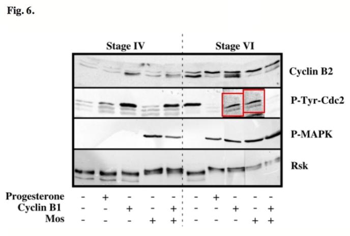 Résultats d'une expérience d'identification de protéines. Cette figure, issue d'un article publié en 2004 dans la revue « Development », présente une suspicion de manipulation (en rouge).