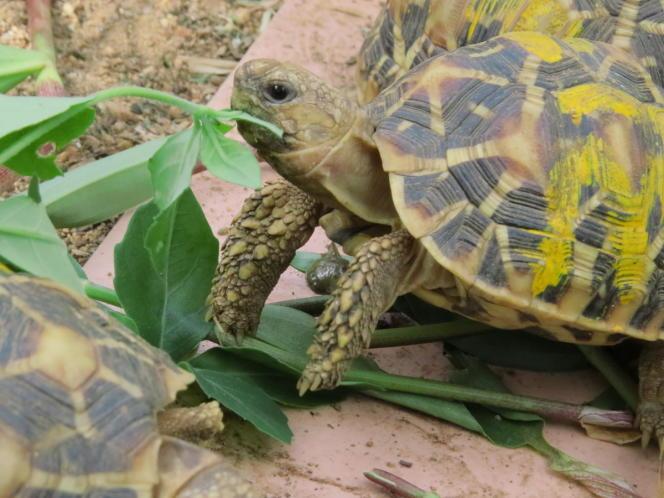 Les tortues sont les principales espèces mises en vente en ligne.