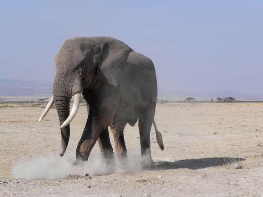 Le trafic d'ivoire (ici un éléphant dans le parc national d'Amboseli au Kenya) représente 11 % des annonces en ligne.