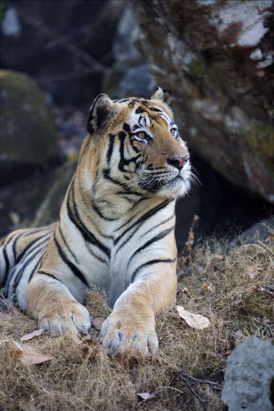 On peut acheter sur Internet des spécimens empaillés, des peaux et des fourrures de tigres et autres félins (lions, guépards, léopards...)