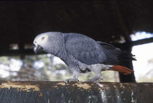 Le perroquet gris du Gabon, dont le commerce international est interdit (à l'exception des oiseaux d'élevage).