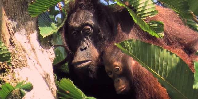 Les populations d'orangs-outans sont en déclin rapide.