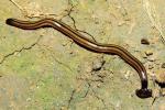 Un ver plat de l'espèceBipalium Kewense.