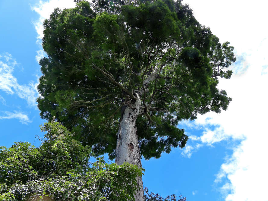 Difficile de le manquer, avec ses 40mètres de haut, ses 60tonnes et ses fruits grands comme le bras. Pourtant, «Dinizia jueirana-facao», un arbre de la famille des légumineuses, n'a été décrit qu'en 2017. On n'en connaît que 25individus, dont la moitié dans une réserve du nord du Brésil.