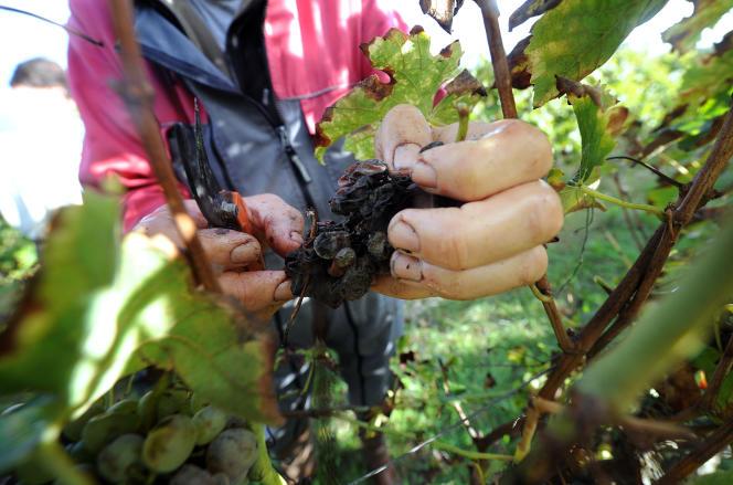 Vendanges de vignes du cépage retrouvé «Loin de l'œil», en octobre 2014.