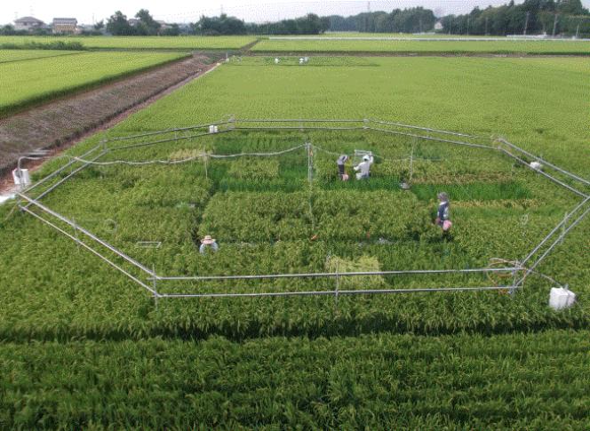 Une rizière servant de laboratoire à l'étude, à Tsukuba au Japon.