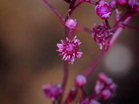 «Sciaphila sugimotoi», découverte dans l'île d'Ishigaki, au Japon, est une plante dite «hétérotrophe»: elle n'utilise pas la photosynthèse pour se nourrir, mais puise ses nutriments dans des champignons avec lesquels elle vit en symbiose. Cinquante spécimens seulement ont été dénombrés dans une forêt humide. Une rareté, car la flore du Japon est très bien décrite.