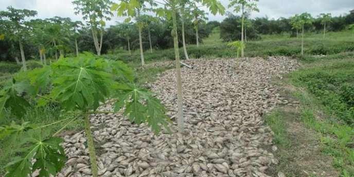 Des milliers de tilapias morts sur les rives du lac Toho, au Bénin.