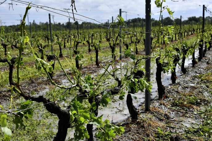 Ce vignoble de Macau, près de Bordeaux, a été durement touché par les orages de grêle.