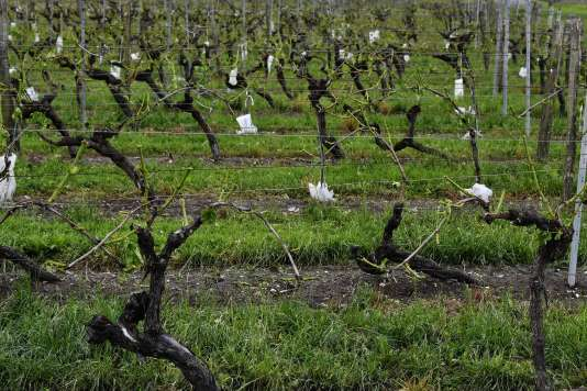 Les vignes sans feuilles à Cognac, après le passage de la grêle, le 26 mai.