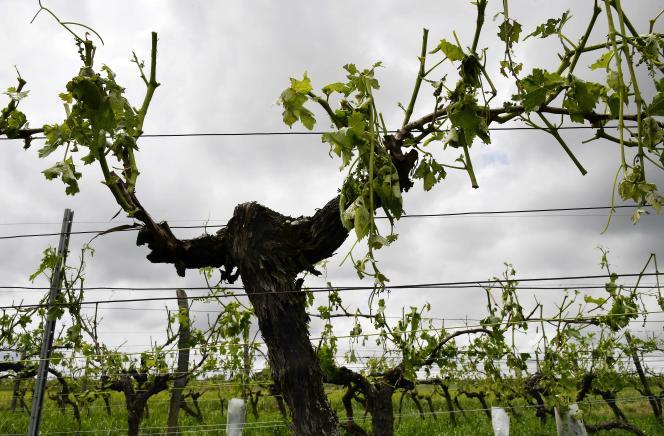 Des vignobles détruits à Cognac.