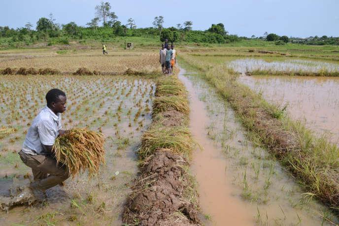 Une rizière dans le sud de la Côte d'Ivoire, en avril 2015.