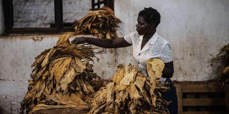 Dans une exploitation de tabac, à Zomba, au Malawi, en 2014.