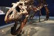 Le tyrannosaure « Trix », assemblé à la Galerie de géologie et de minéralogie du Jardin des plantes, à Paris.