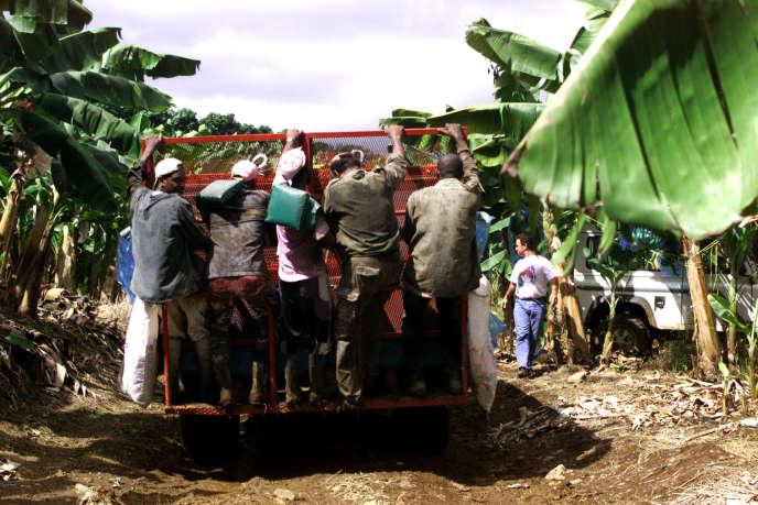 Récolte dans une bananeraie de la propriété Dormoy, à Capesterre-Belle-Eau (Guadeloupe), en novembre 2000.