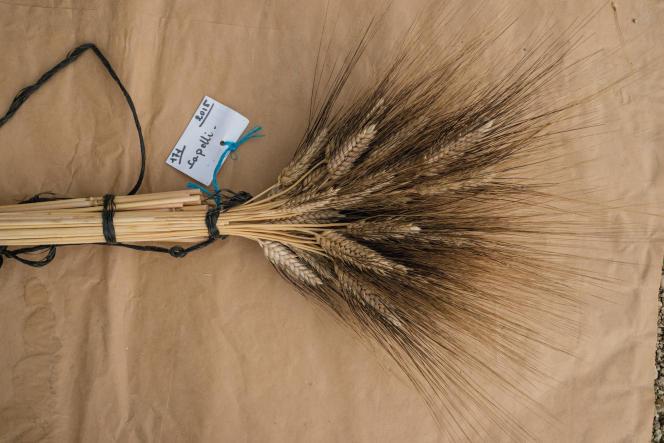 Collection de blés anciens de Bernard Ronot, cultivateur et association Graines de Noé