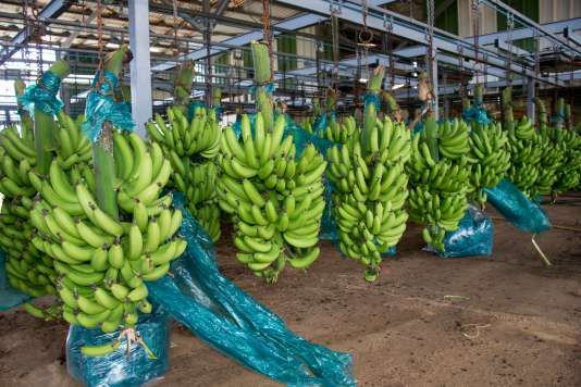 Sur le site de traitement de bananes Changy-Dambas, à Capesterre Belle-Eau en Guadeloupe, le 10 avril.