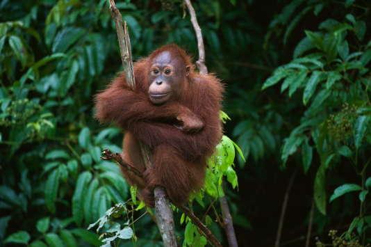A Sumatra, la population d'orangs-outans diminue d'année en année.